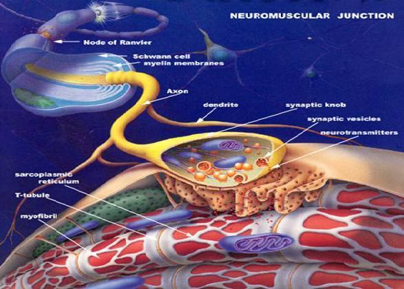 KAS (Nöromüsküler) HASTALIKLARI