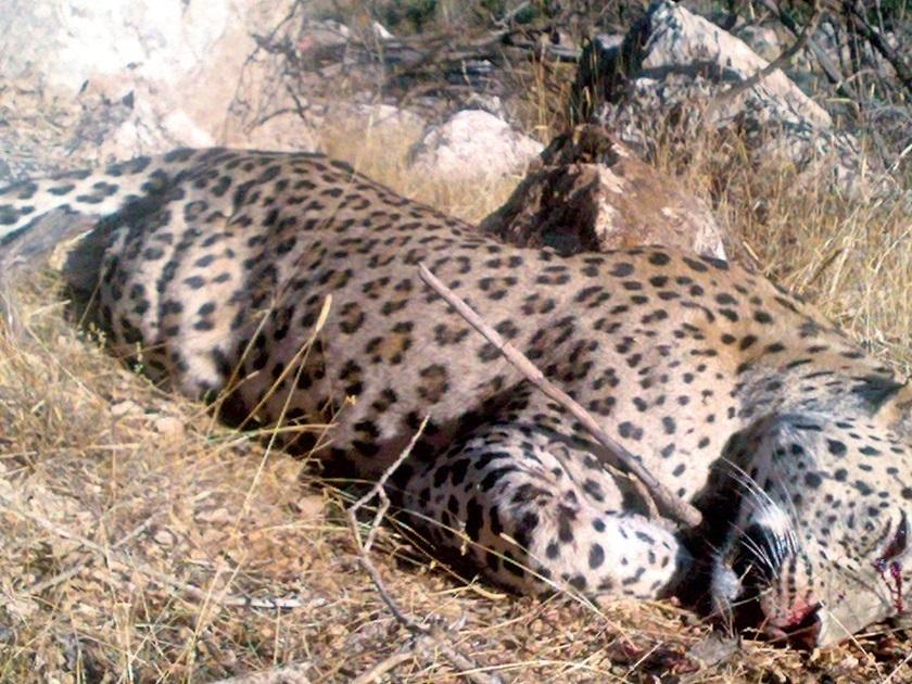 Anadolunun Son Leoparı Siirtten Çıktı