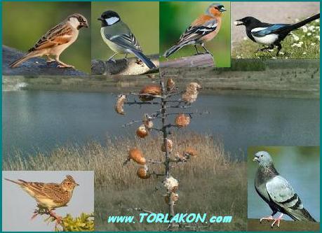 Kuşlarda izlem (strateji) örneği